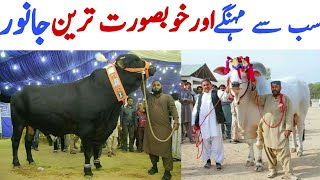 Pakistan's Most Expensive and Beautiful Cows and Goats in Mandi   Qurban tv