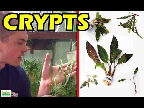 Beginner Aquarium Plants 4 Species of Crypts, Bonus NOT Beginner Plant