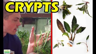 Beginner Aquarium Plants 4 Species of Crypts, Bonus NOT Beginner Plant