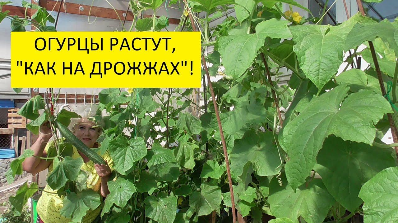 Дрожжевая подкормка. Как приготовить дрожжевую подкормку для огурцов и томатов из сухих дрожжей?