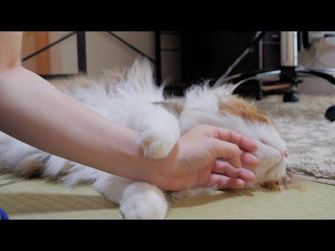 お泊り後甘えるのが止まらない猫にひたすら尽くさせて頂きます