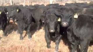 Молодые бычки породы Абердин Ангус. Ферма в США