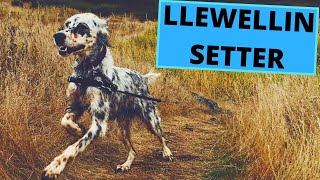 Llewellin Setter  TOP 10 Interesting Facts