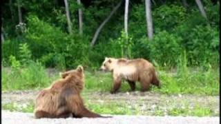 Медведи на Камчатских дорогах.mpg