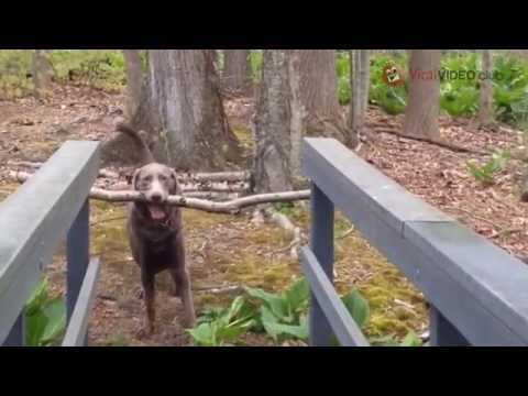 FUNNY DOG TRY CROSS THE BRIDGE WITH A BOUGH IN HIS MOUTH