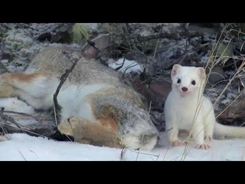 Cute But Deadly Weasel   Animal Attacks   Love Nature