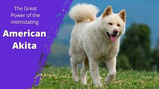 The Great Power of the Intimidating American Akita