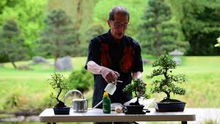 Watering & Feeding Bonsai Trees