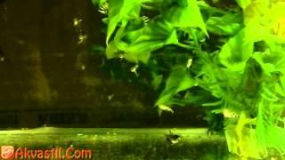Уход и кормление мальков скалярии. Аквариумные рыбки. Аквариумистика.