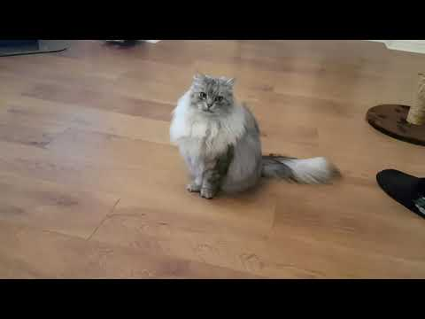 Siberian cat does back flips when instructed