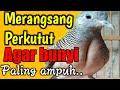 Perkutut Lokal Gacor Raja Pikat Pancingan Ampuh  Mp3 - Mp4 Download