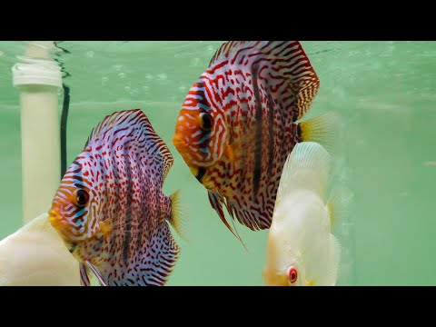 DISCUS FISH IMPORT AND BREEDING FACILITY TOUR!