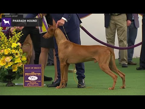 Pharaoh Hounds | Breed Judging 2020