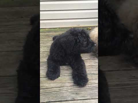 PuppyFinder.com : June 22, 2017 BOUVIER LITTER (black, female pup)
