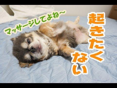 【チワワのラズおじさん】だらしない朝 / Morning of lazy chihuahua