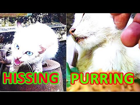 Hissing stray kitten to purring friendly kitten - Taming scared stray cat with food