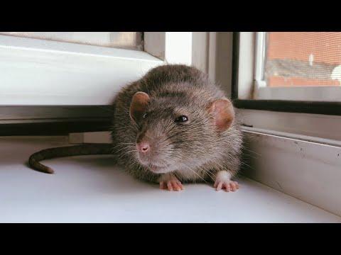 Вопрос: Почему крысы все время что-то грызут, хотя им надо мало еды для жизни?