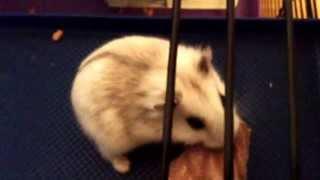 Dverg hamster