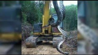 Anaconda - Giant snake found inzil - Code 10 metros encontrada no Pará.