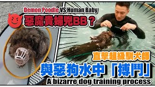 『 惡魔貴婦凶BB 』 😈vs 👶🏻 Demon Poodle VS Human Baby