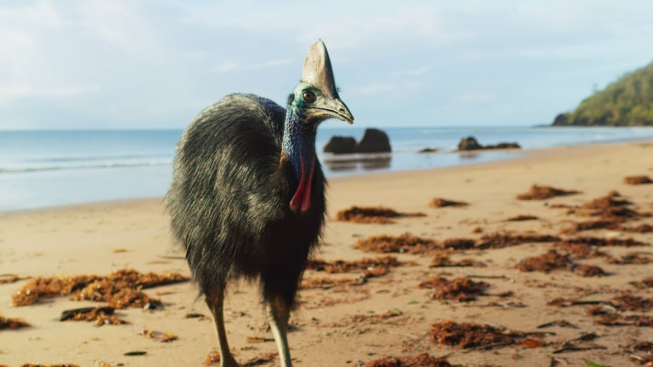 Giant Cassowaries are Modern-day Dinosaurs | Seven Worlds, One Planet | BBC Earth