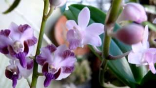 Doritaenopsis Tzu Chiang Sapphire + Doritis pulcherrima aquinii