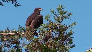 Juvenile Bald Eagle Leaves Nest for First Time