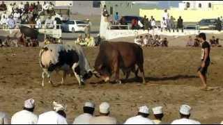 Bull Fighting In Oman, March 2013