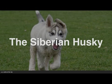 Siberian Husky - Dog Profile from PetBreeds.com