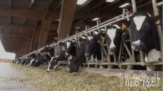 Vaches laitières Prim Holstein nourries avec de l'ensilage de maïs