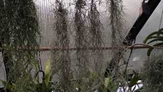 Air Plant Care: Must Know Spanish Moss Care and Culture Tips for Tillandsia usneoides