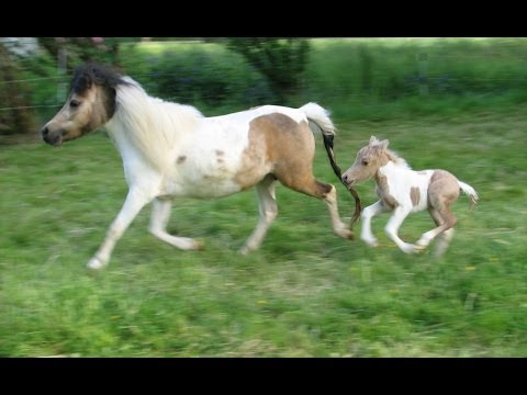 A Miniature Horse Foal is Born - Little Hooves Oberon - Palomino Pinto Colt