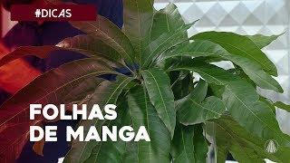 Download lagu Receitas de curas naturais usando folhas de manga