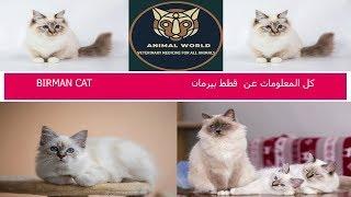 كل المعلومات عن قطط بيرمان BIRMAN CAT