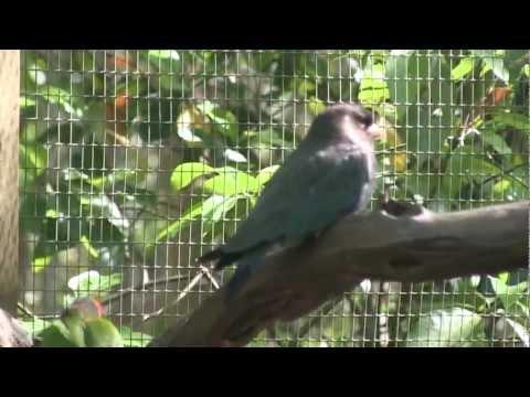 Oriental Dollarbird (Eurystomus orientalis)