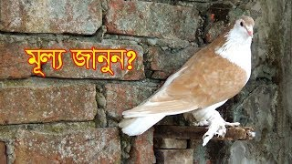 ময়ূরপঙ্খী কবুতর দাম জানুন/Kinge And Lakkha Pigeon Price In Pigeon Khamer