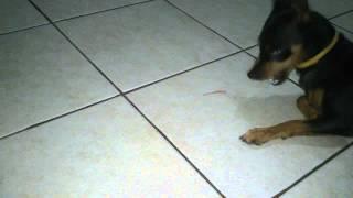 Miniature Pinscher Playing With Fallen Gecko Tail