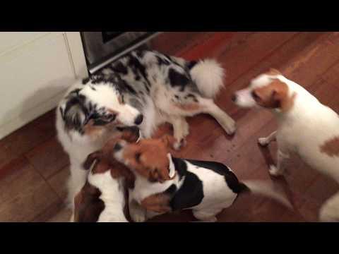 Aussie and Farmdogs