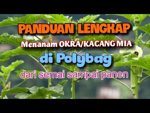CARA DAN PANDUAN LENGKAP MENANAM OKRA/KACANG MIA DI POLYBAG