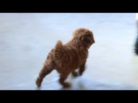 Miniature Labradoodle Puppy For Sale
