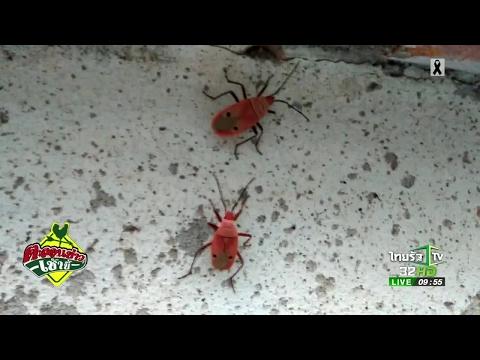 พบแมลงรูปหน้าคน สีสวย | 16-05-60 | ตะลอนข่าวเช้านี้