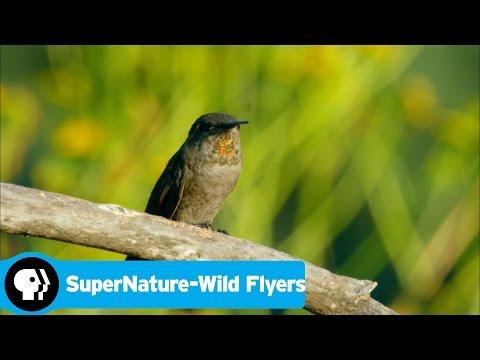 SUPERNATURE - WILD FLYERS   Anna's Hummingbird   PBS