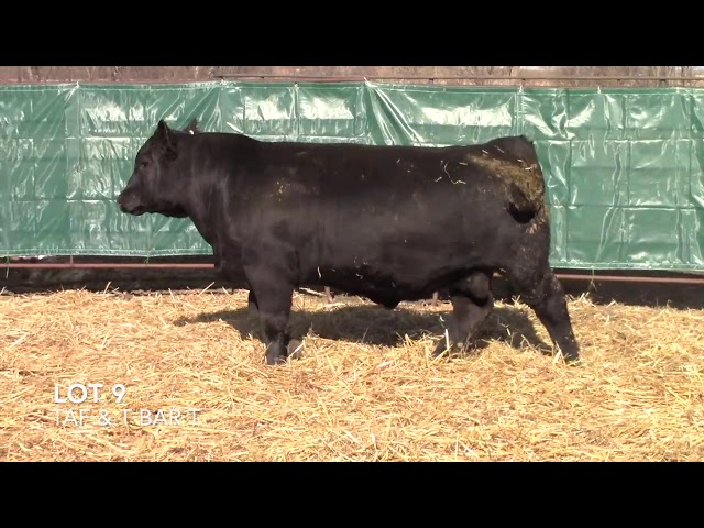 T Bar T and Taliaferro Angus Lot 9