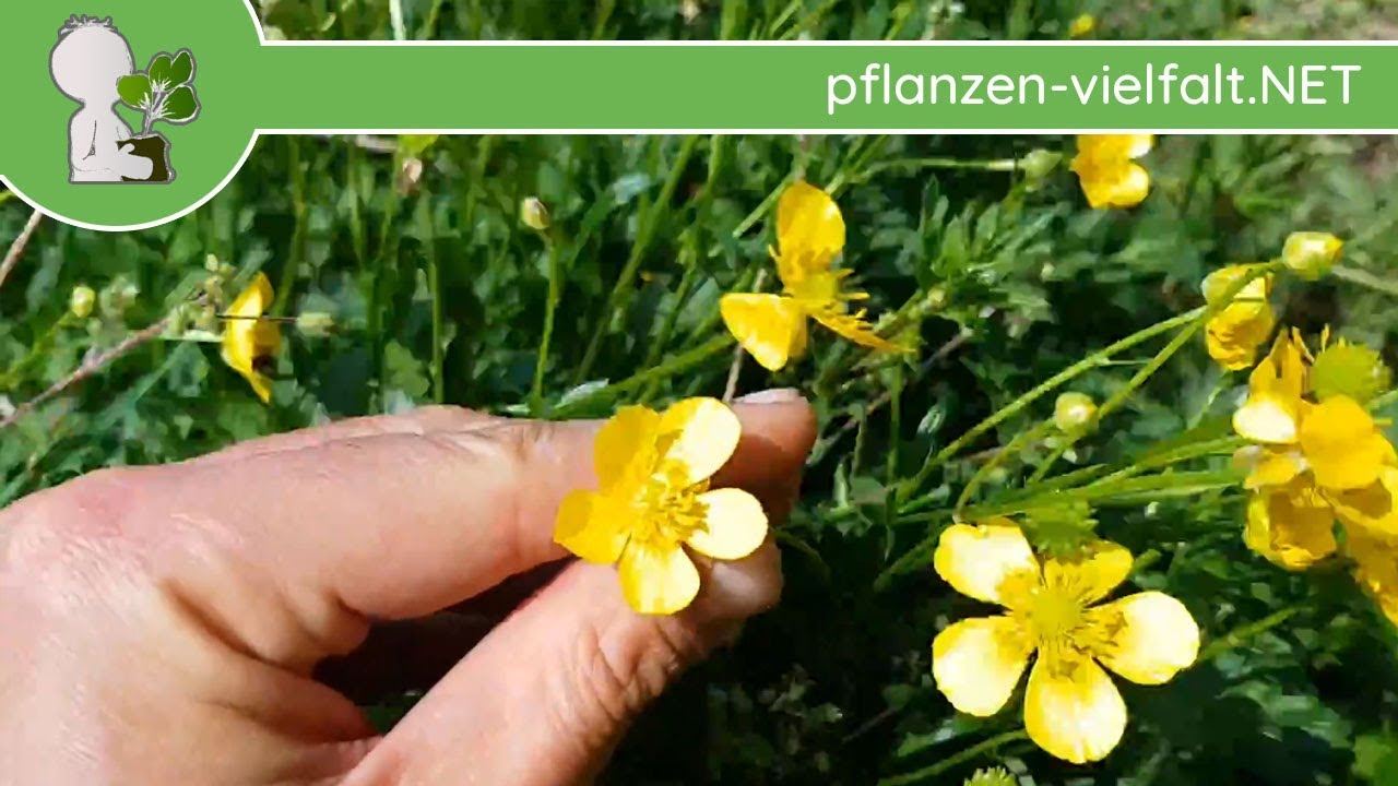 Atemberaubend Kriechender Hahnenfuß - Ganze Pflanze - 25.04.18 (Ranunculus #ND_92