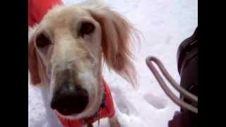 サルーキは、犬であって犬で無いような。。。 動きが魅力的です.
