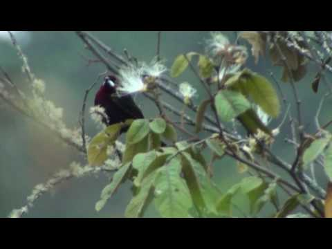 Birds of Peru: Silver-beaked tanager