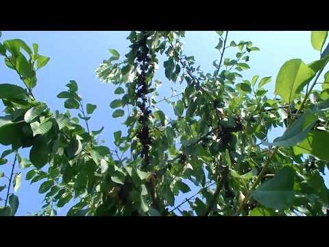 Fruit Festival 2017: Cherries Of Abundance, Fruitarian Life