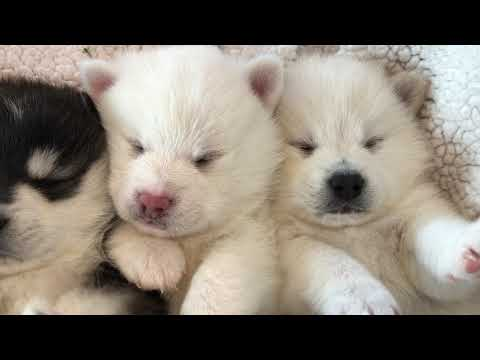Puppy cam caught these Toy Pomskies snoozing.
