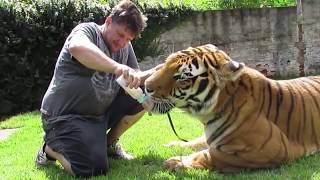 Tigers swimming and jumping - Tigres nadando e pulando.