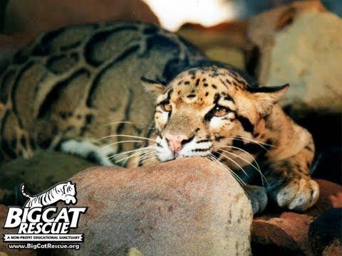 Clouded Leopard Cage Demolition